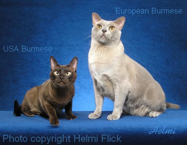 burmese cats wallpaper