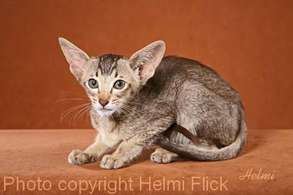 short hair tabby kitten. Oriental Shorthair Kitten