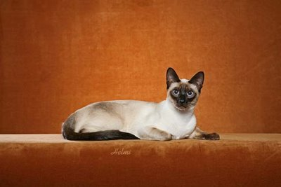 Thai Cat Traditional Siamese Cat