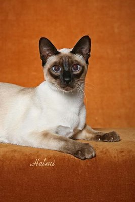 Is this a Classic Siamese Cat?