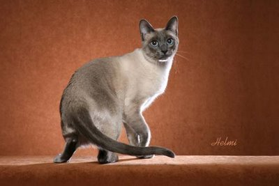 Thai cat Classic Siamese cat
