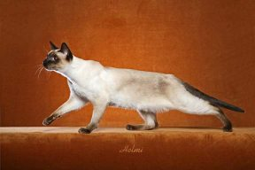 Thai cat - Siamese cat history