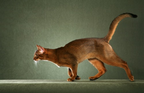 best Abyssinian cat photo""