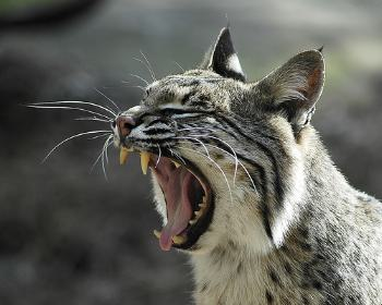 American Bobcat Hybrids | Blog About Cats