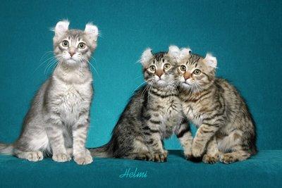 rasa pisici american curl
