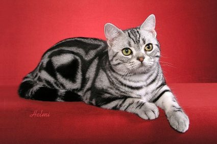 american-shorthair-2nd.jpg