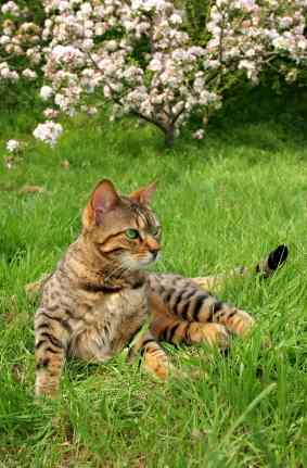 bengal cats cat in grass. Bengal cats technically fall within the ambit of