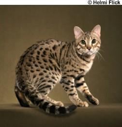 bengal cat is antisocial blog about cats bengal cats 252x262