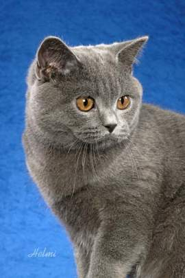 ����� ����������� british-shorthair-he
