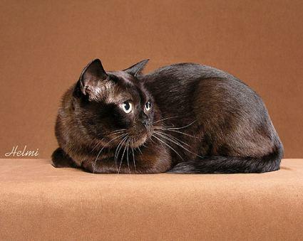 burmese-cat-3rd.jpg