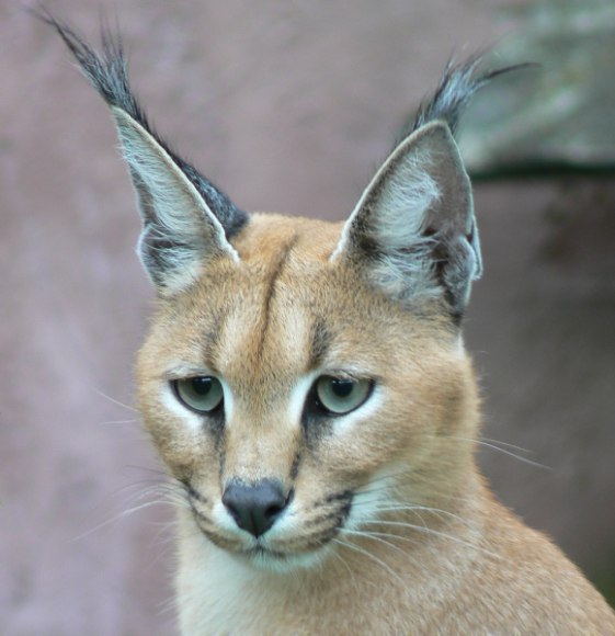 wallpapers of animal wild cat caracal pictures