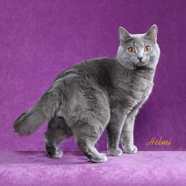 Cat Breeds Flashcards