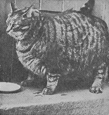 Clauz - World's Fattest Cat 1950. by Finn Frode (Copenhagen, Denmark)