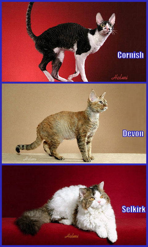 Cornish Rex vs Devon Rex