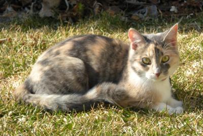 Résultats de recherche d'images pour «chat calico dilué»