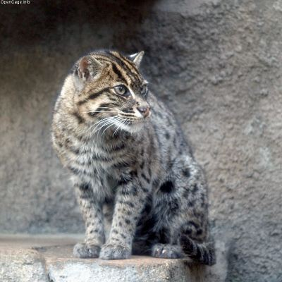 fishing cat pet. Fishing Cat Photo