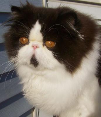 Cute Looking Persian Cat