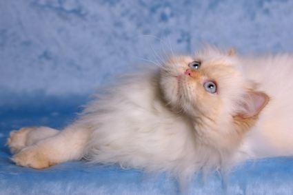 الفرق بين الهملايآآ والسيامي Himalayan-cat-4th