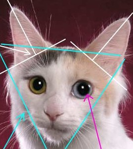 Japanese Bobtail cat head shape
