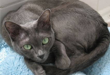 Blog about cats grey cat breeds