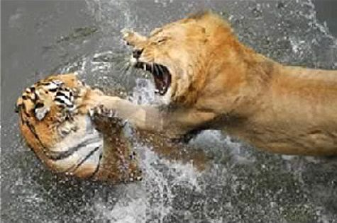 http://www.pictures-of-cats.org/images/lion-vs-tiger.jpg