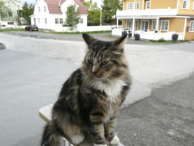 American Longhair is another now unused name for the Maine Coon cat.