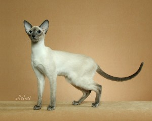 http://www.pictures-of-cats.org/images/more-dental-problems-in-modern-siamese-21346417.jpg