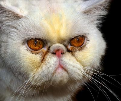 Persian cat with extreme flat face and health probems