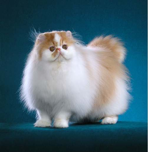 http://www.pictures-of-cats.org/images/persian-cat-proud-showcat.jpg