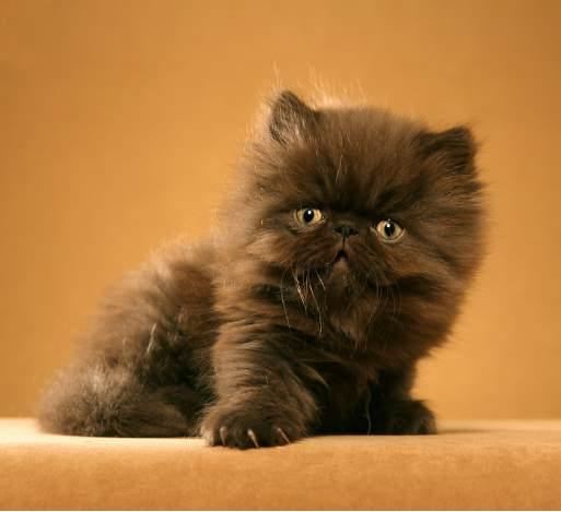 Persian kittys adult