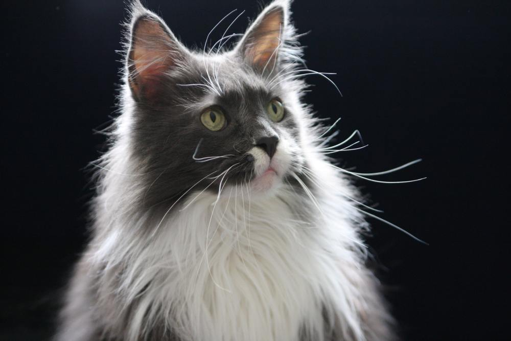I am getting a cat [poll] Picture-of-maine-coon-cat-zak