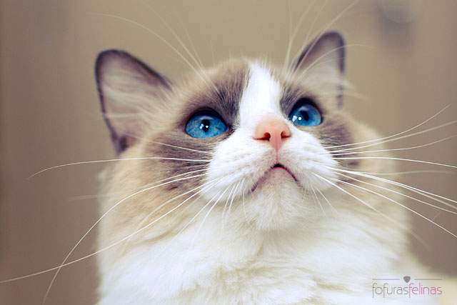 Best Pictures of Cats and More: Ragdoll cat photo by Giane Portal
