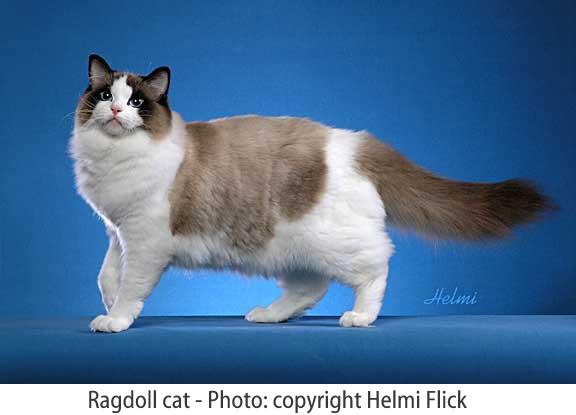 Best Pictures of Cats and More: Ragdoll Cat Picture
