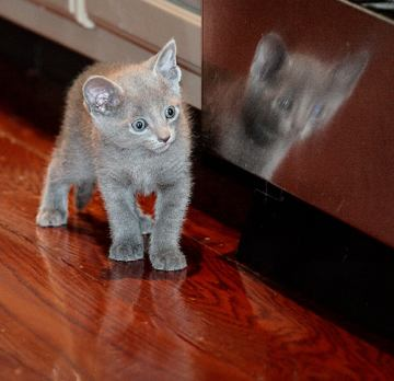 kittens. Russian blue kittens