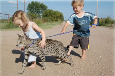http://www.pictures-of-cats.org/images/savannah-cat-a1-1.jpg