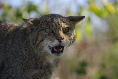 http://www.pictures-of-cats.org/images/scottish-wildcat.jpg