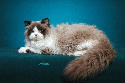 selkirk-rex-cat-pictures-of-cats-1