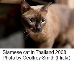 Siamese cat in Thailand 2008
