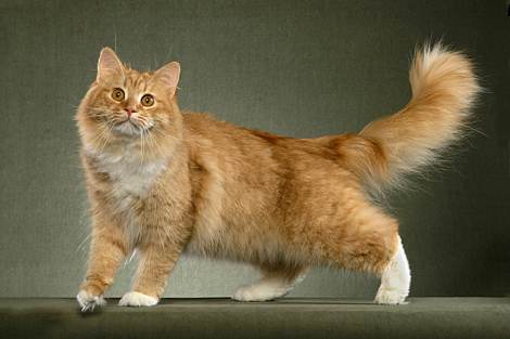 Siberian Cat – dilute red
