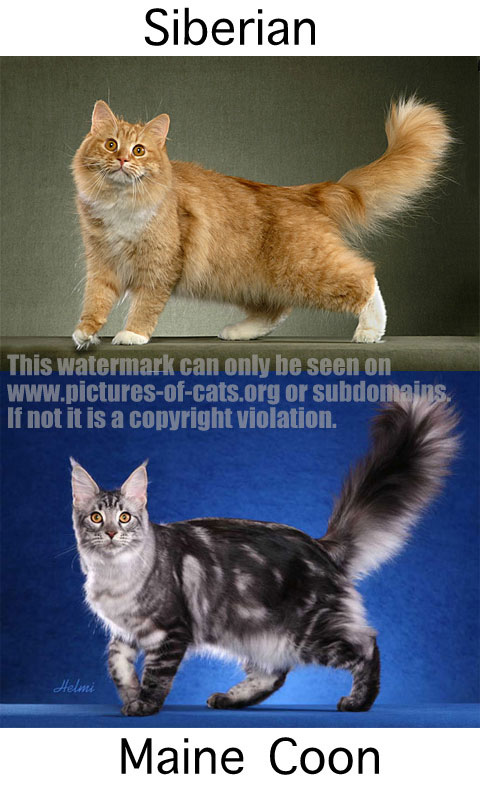 Siberian Cat vs Maine Coon