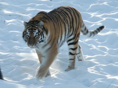 Snow Tiger - Siberian Tiger
