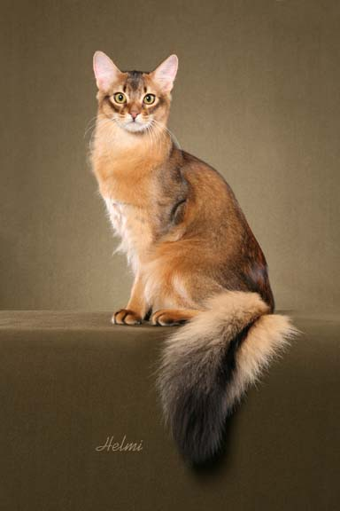 somali-cat-picture-1.jpg