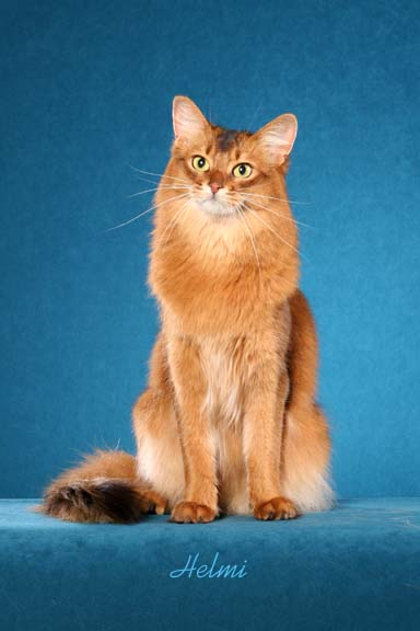 somali-cat-picture-2.jpg