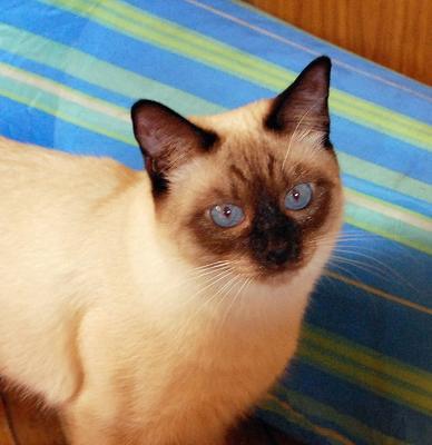 or apple head Siamese cat