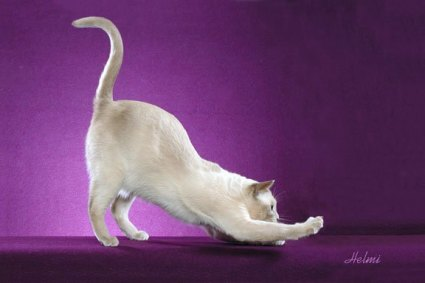 Tonkinese cat - pictures of