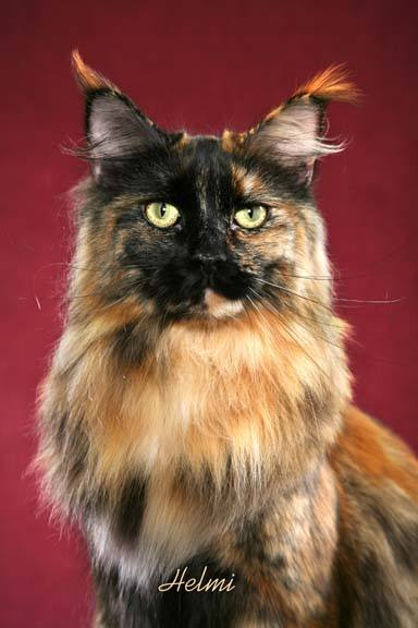 list of 15 different colors of a maine coon cat