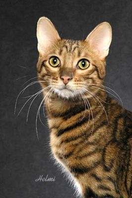 Toyger cat pictures of cats