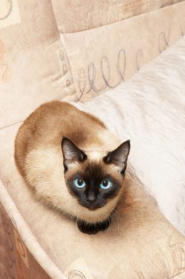 Traditional Siamese Cat