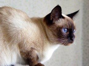 Όμορφες εικόνες... - Σελίδα 2 Traditional-siamese-cat-pictures-of-cats