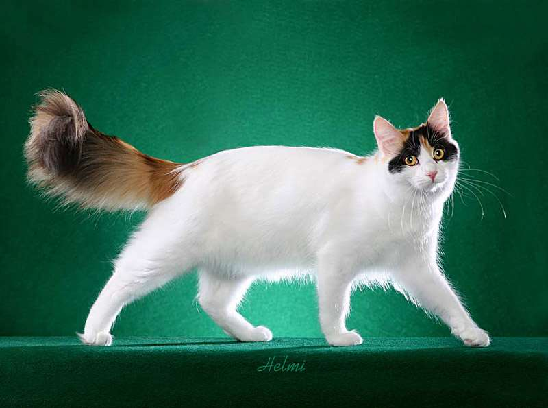 Turkish Van cat - pictures of cats